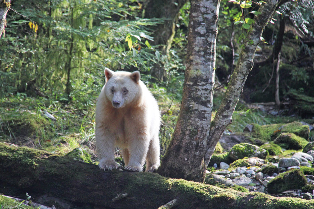 Protecting the Great Bear Rainforest